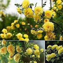 Keland Garten - 50 Stück Rosen mit Stich