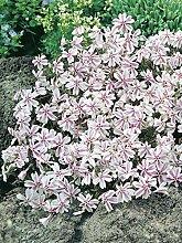 Keland Garten - 50pcs Raritäten Polsterphlox