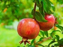 Keland Garten - Granatapfelbaum Samen Bonsai Samen