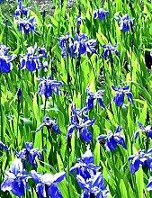 Keland Garten - Iris Sibirische Schwertlilie