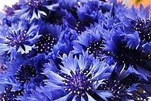 Keland Garten Kornblume Samen Blumensamen selten