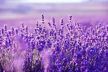 Keland Garten - Lavendelsamen Mehrjährig