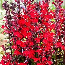 Keland Garten - Mexiko Rarität Kardinals-Lobelie