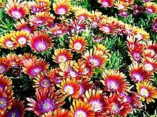 Keland Garten - Rarität Delosperma Mittagsblume