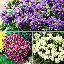 Keland Garten - Rarität Großblütig Braunelle