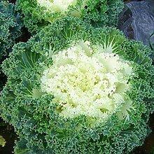 Keland Garten - Selten Bio Gemüsesamen Grünkohl
