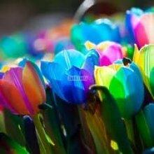 Keland Garten - Selten Regenbogen Tulpen