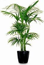 Kentia Palme Howea Forsteriana wunderschöne Zimmerpflanze sehr pflegeleicht 150-160cm Pot Ø 24 cm