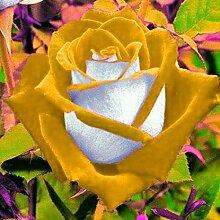 KEPTEI Garten Rosensamen 40 Stück/Pack Edelrose