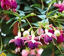 Keptei Samenhaus- Multicolor Fuchsien Blumensamen