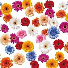 KEVKUS Wachstuch Tischdecke Rollenware 20 Meter Rolle x 140 cm Gerbera Blumen C147080