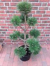 Kiefer-Bonsai, Höhe: 120-130 cm, Pinus nigra
