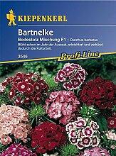 Kiepenkerl, Bartnelke, Dianthus barbatus Bodestolz
