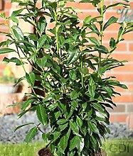 Kirschlorbeer Bertini 60-80cm - Prunus laurocerasus