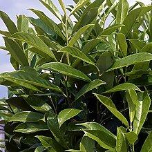 Kirschlorbeer Caucasica Fontanette - Hecken
