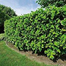 Kirschlorbeer Etna - Hecken Pflanze 30-40 cm