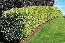 Kirschlorbeer für Hecken Cont. 80 - 100 cm