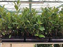 Kirschlorbeer Heckenpflanzen immergrün