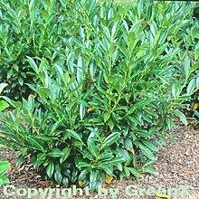 Kirschlorbeer Reynvaanii 125-150cm - Prunus