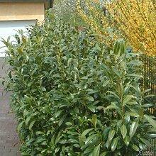 Kirschlorbeer Winterstar - Hecken Pflanze 40-60 cm