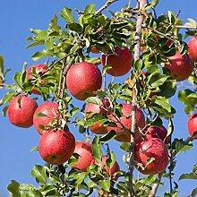 Kisshes 20/50 Stück Apfel Samen Winterhart Bonsai