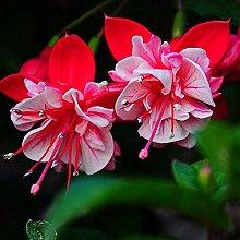 Kisshes Fuchsie Winterhart 30 stücke Blumenwiese