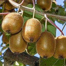Kiwi: Actinidia deliciosa Jenny - Männliche und