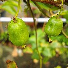 Kiwi Isaii. selbstfruchtend. 1 Strauch - zu dem Artikel bekommen Sie gratis ein Paar Handschuhe für die Gartenarbeit dazu
