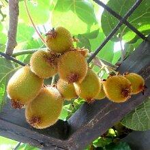 Kiwi Jenny - Actinidia chinensis 'Jenny' -