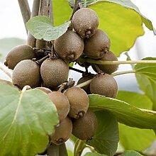 Kiwi Pflanze Sorte Jenny selbstbefruchtend und