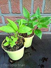 Kiwi Pflanzen, Mini Kiwi, SET m/w Actinida arguta 3Sets/ Obst Pfanzen
