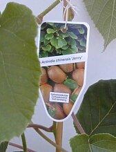 Kiwi selbstfruchtend Actinidia chinensis Jenny -R-