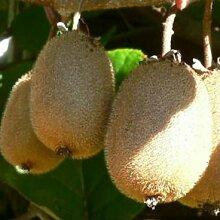 Kiwi `Solo´, selbstfruchtbar, Actinidia