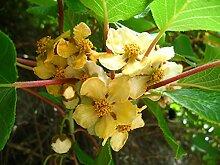 Kiwi Strauch Bayernkiwi männlich - 60-100 cm -es Exotisches Obst Gartenpflanze 1 Pflanze