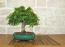 Kiyohime Maple bonsai tree (7)