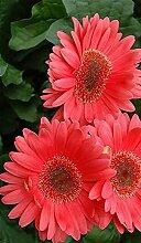 Klar: 100 Teile/beutel Gerbera Daisy Seeds New