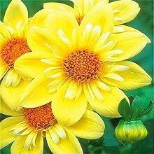 Klar: 20 Sonnenblumenkerne Mini Regenbogen