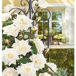 Kletter-Rose 'Blanche Colombe®'