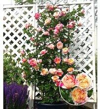 Kletter-Rose 'Julie Andrieu®'