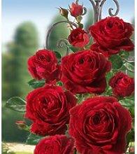 Kletter-Rose 'Messire Delbard®'