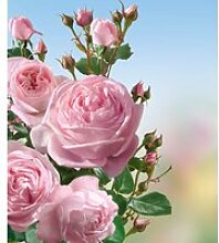 Kletter-Rose 'Nahéma®'
