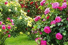 Kletter-, Strauch- oder Englische Rose
