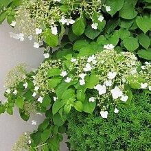 Kletterhortensie- kletternde, weiß blühende Hortensie - Hydrangea petiolaris - Kletterpflanze