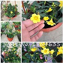 Klettern Gelbe Jasmin-Blumen-Samen Bonsai-Baum