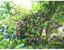 Kletterpflanze Akebia - Klettergurke 40-60cm im 2L