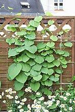 Kletterpflanze Aristolochia - Pfeifenwinde