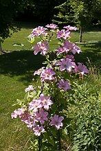 Kletterpflanze Clematis Waldrebe Comtesse de