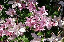 Kletterpflanze Clematis Waldrebe  Hagley 60-100cm