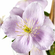 Kletterpflanze Clematis Waldrebe Rubens 100-150cm