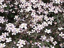 Kletterpflanze Clematis Waldrebe Rubens 40-60cm im 2L Topf gewachsen